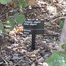 Image of <i>Eucalyptus alligatrix</i> L. A. S. Johnson & K. D. Hill