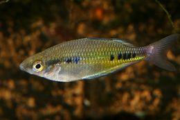 Image of Spotted Rainbowfish