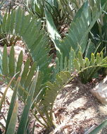 Image of <i>Encephalartos cupidus</i> R. A. Dyer