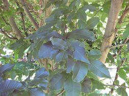 Image of Cape-chestnut