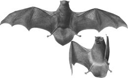 Image of Common Bentwing Bat