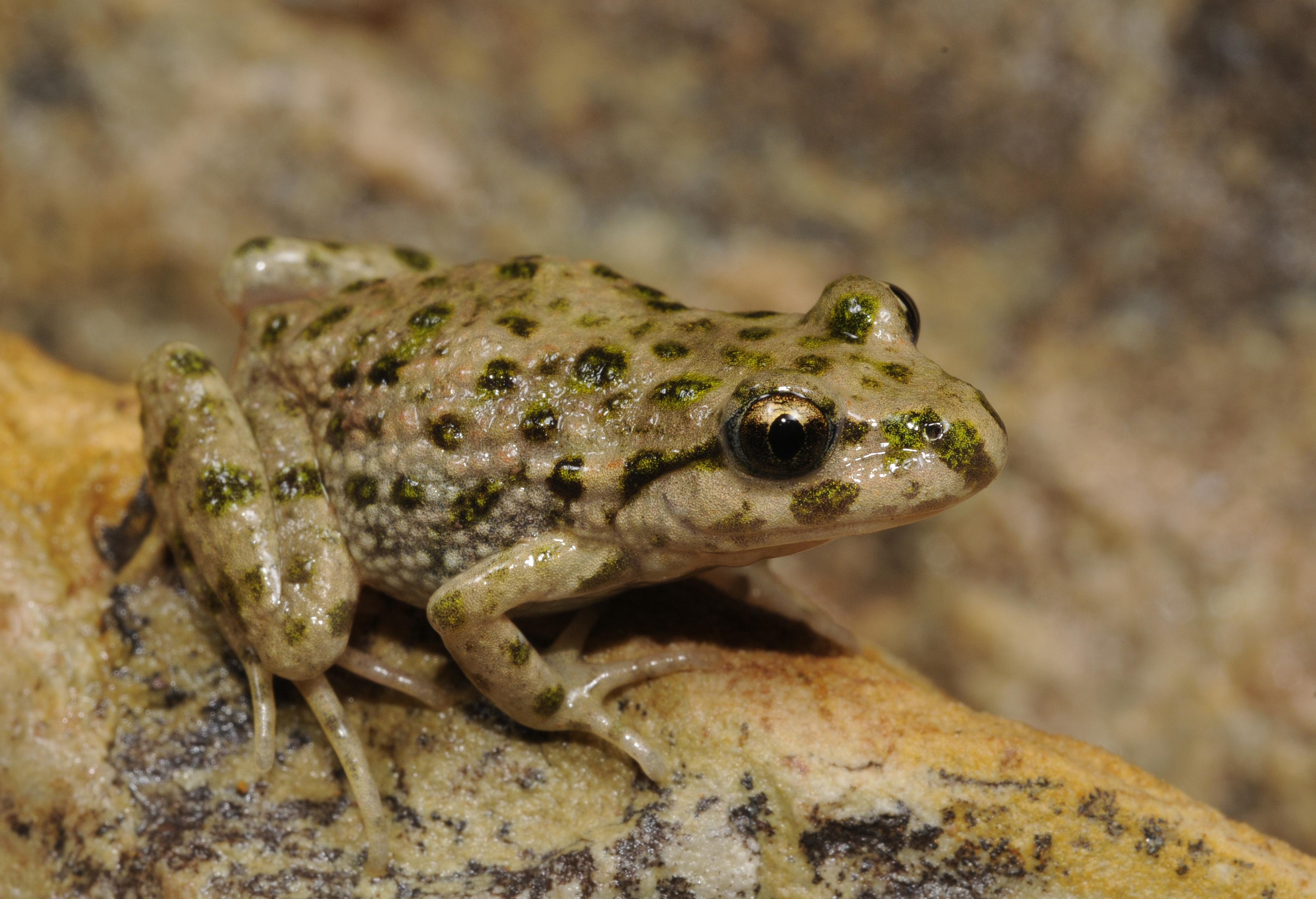 Image of Iberian Parsley Frog