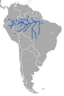 Image of Amazon Manatee