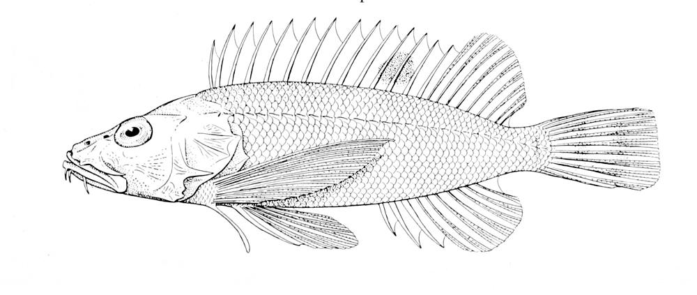Image of Short-armed waspfish
