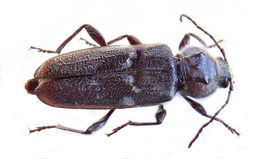 Image of Old-house borer