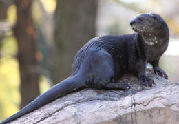 Image of Spotted-necked otter