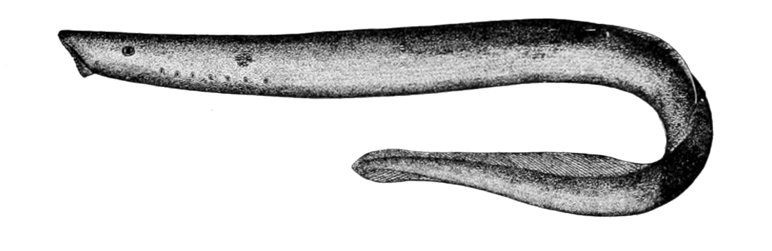 Image of Arctic Lamprey