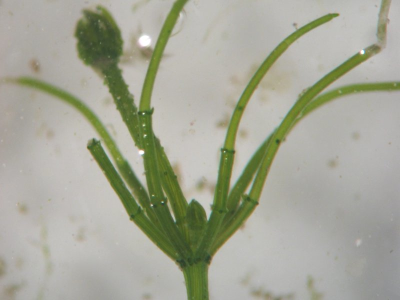 Image of Common Stonewort
