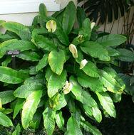 Image of <i>Spathiphyllum floribundum</i> (Linden & André) N. E. Br.