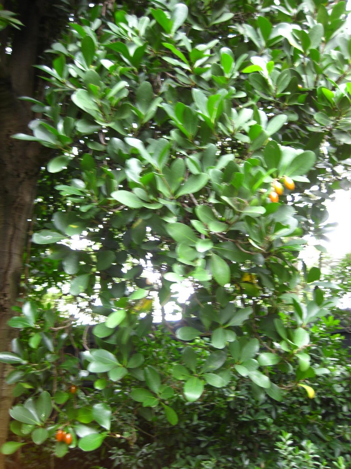 Image of karaka nut