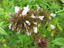 Image of herb of Gilead