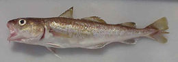 Image of Greenland Cod