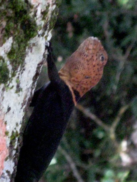 Image of Tropical Thornytail Iguana