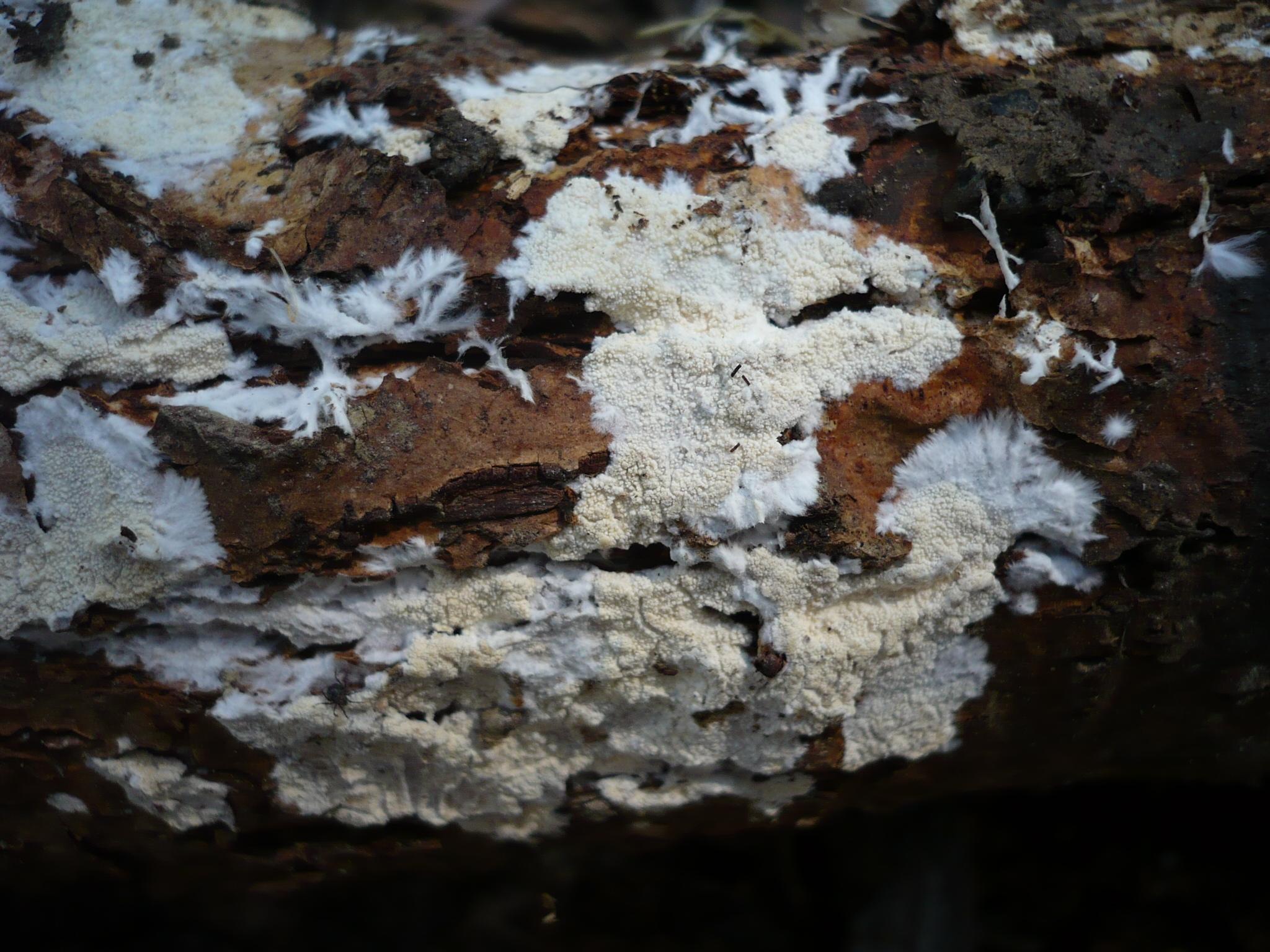 Image of <i>Crustomyces subabruptus</i> (Bourdot & Galzin) Jülich 1978