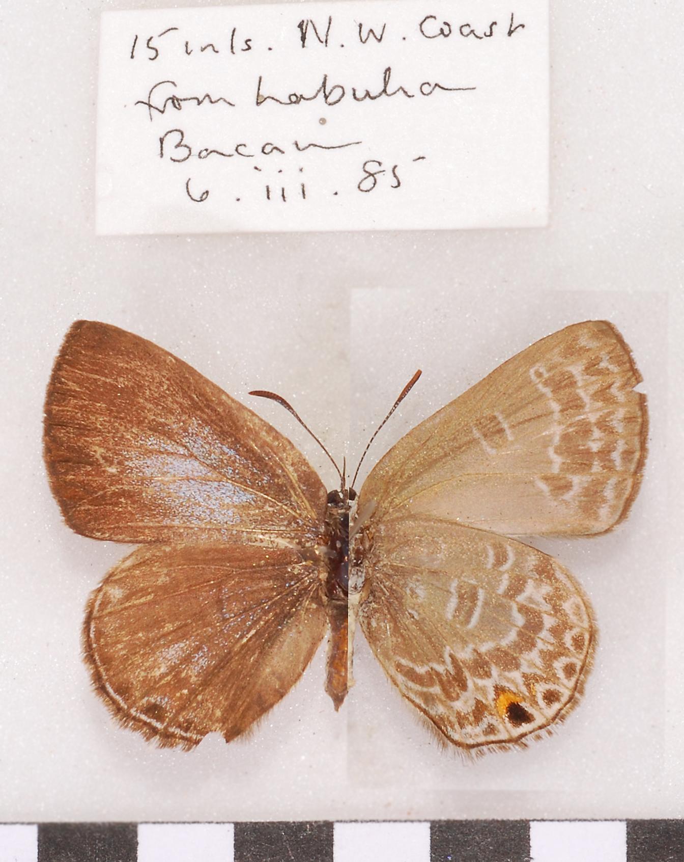 Image of <i>Anthene seltuttus</i> (Röber 1886)