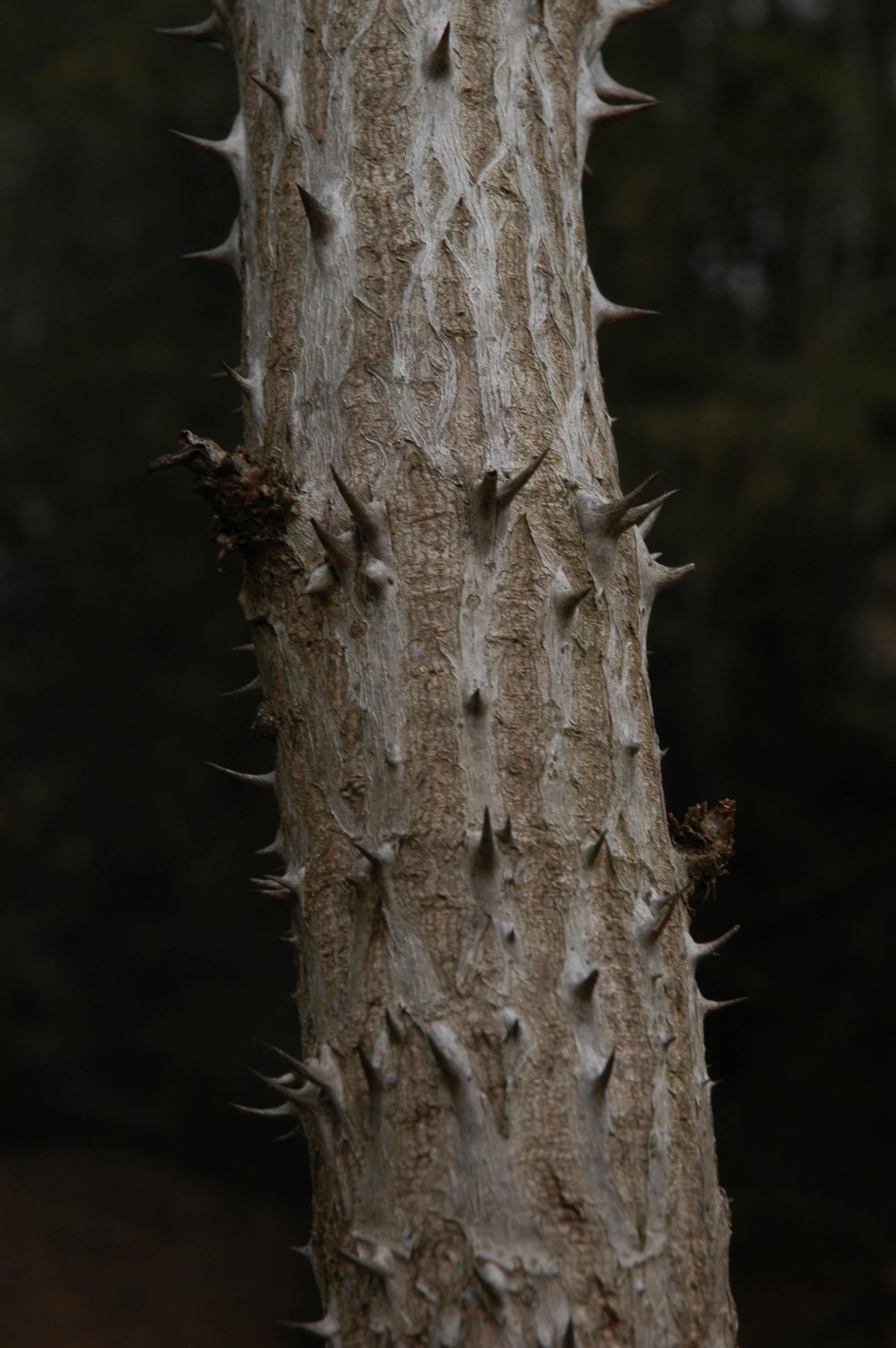 Image of devil's walkingstick