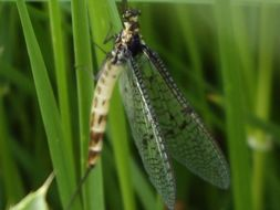 Image of common burrower mayflies