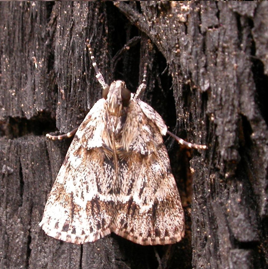 Image of <i>Spectrotrota fimbrialis</i> Warren 1891