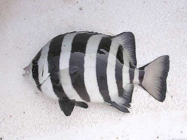 Image of Barred knifejaw