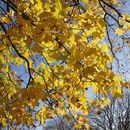 Image of Cappadocian Maple