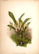 Image of <i>Cochleanthes aromatica</i> (Rchb. fil.) R. E. Schult. & Garay