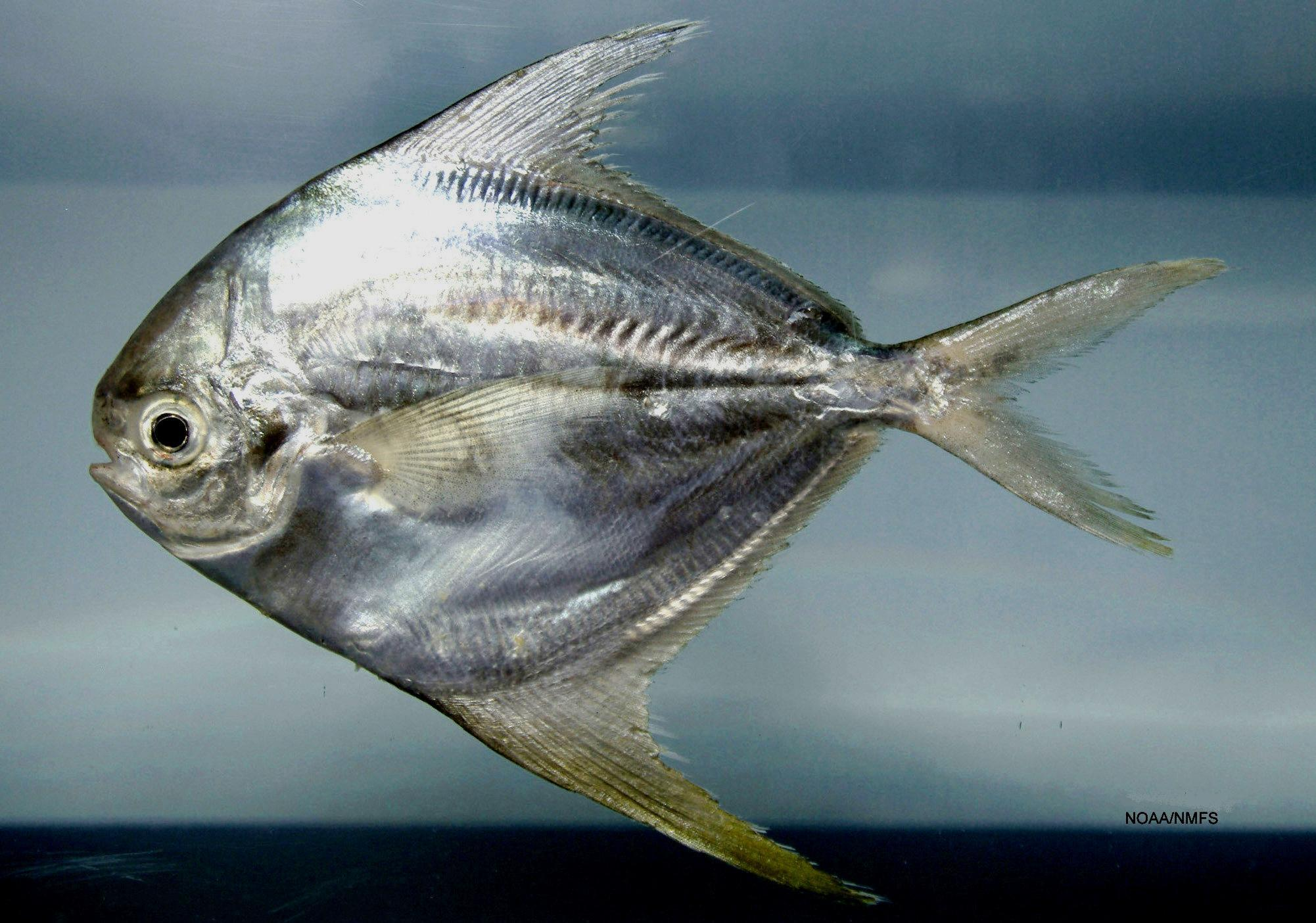 Image of American Harvestfish