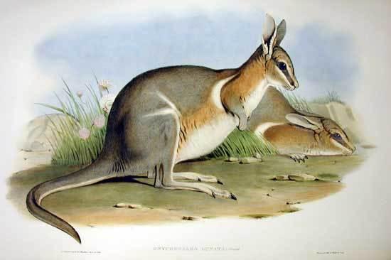Image of Crescent Nail-tail Wallaby