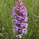 Image of Heath fragrant orchid