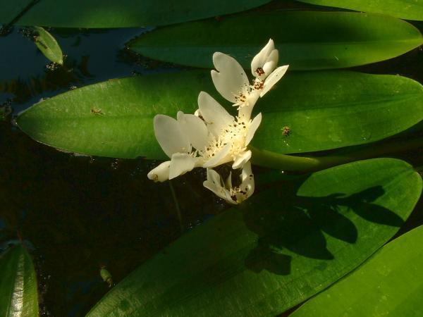 Image of Cape pondweed