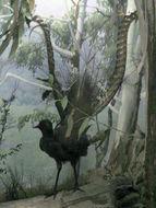 Image of Superb lyrebird