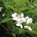 Image of <i>Philadelphus purpurascens</i> (Koehne) Rehder