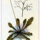 Image of Michaux's Pseudosaxifrage