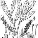 Image of sageleaf willow
