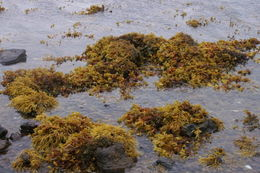 Image of Spiral or Spiralled Wrack