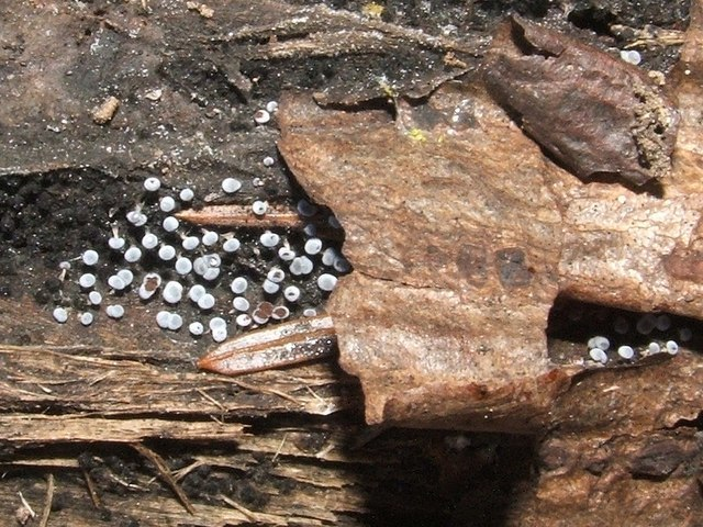 Image of Physarum