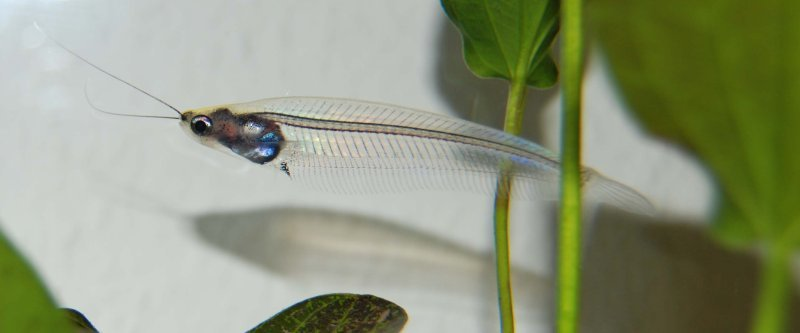 Image of Glass catfish