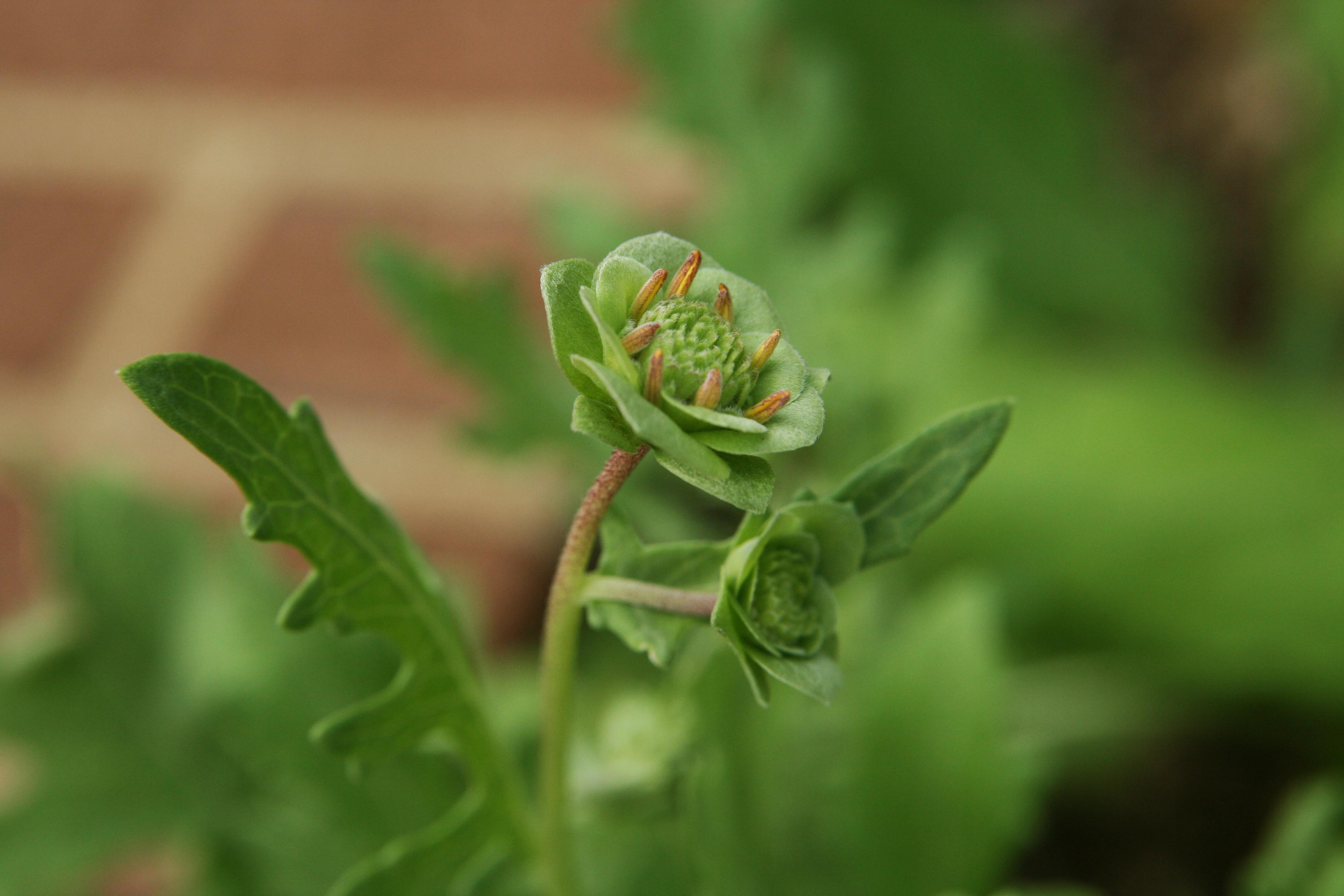 Image of lyreleaf greeneyes