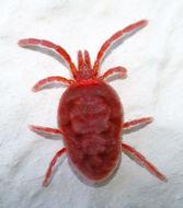 Image of <i>Trombidium holosericeum</i> (Linnaeus 1758) Linnaeus 1758