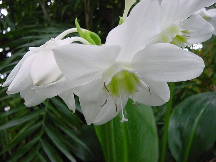 Image of Amazonlily