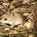 Image of Delicate Mouse