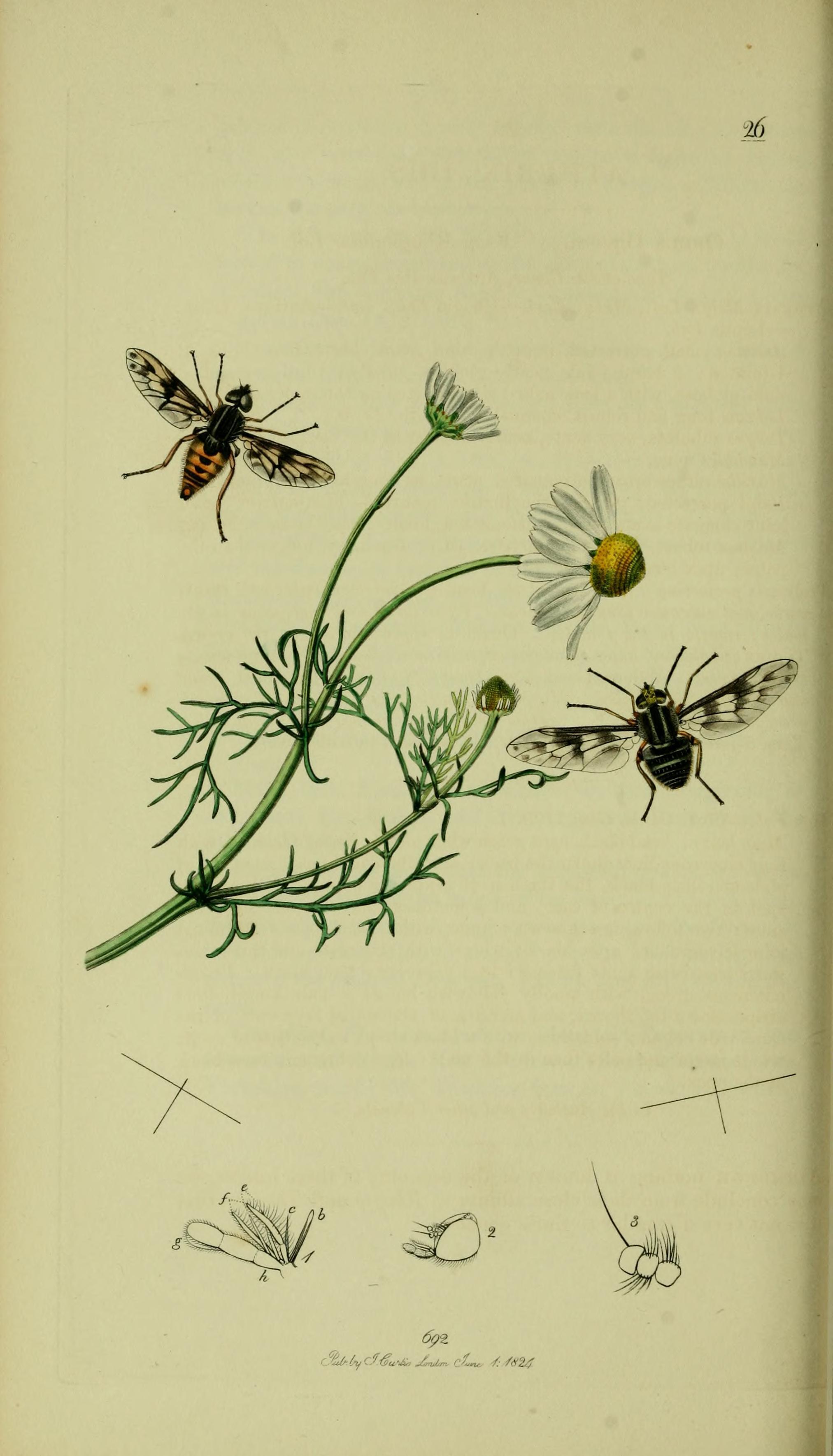 Image of <i>Atherix ibis</i> (Fabricius 1798)