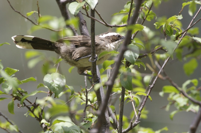 Image of White-browed Babbler