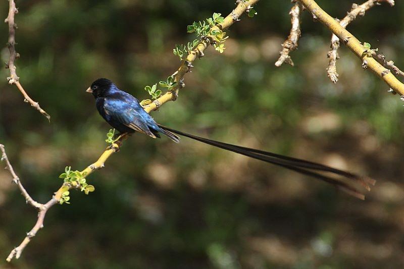 Image of Steel-blue Whydah