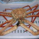 Image of reddish crab