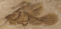 Image of handfishes