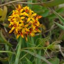 Image of Schoepfiaceae