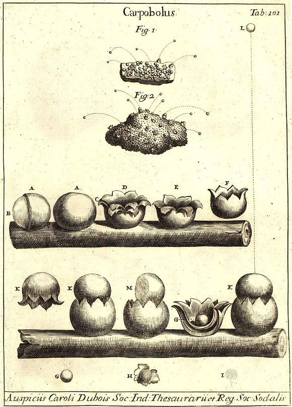 Image of Sphaerobolus