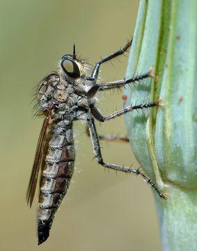 Image of <i>Dysmachus trigonus</i>