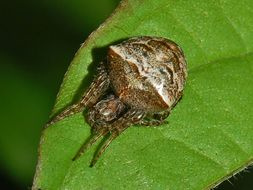 Image of <i>Gibbaranea bituberculata</i> (Walckenaer 1802)