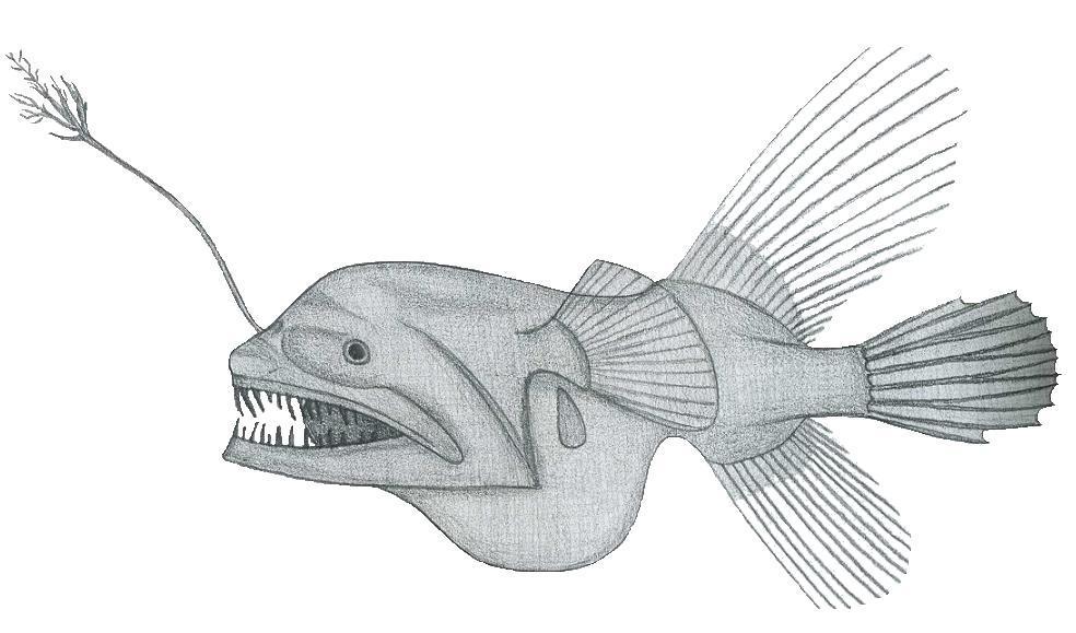 Image of <i>Caulophryne pelagica</i> (Brauer 1902)